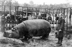 Belle The Hippo During The Siege Of Leningrad
