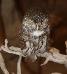 Eurasian pygmy owl - Natural History Museum of Meteora & Mushroom Museum Small Owl, Natural History Museum, Rare Birds, Central Europe, Nature, Animals, Naturaleza, Animales, Animaux