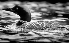 gliding the glass lake,  silent loon of solitude,  water nymphs take heed  ✿⊱╮  JMS