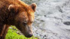 A brown bear - Avoya Travel Article: 'Last Chance! Book Your 2014 Alaska Summer Cruise'