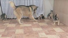 Nie wyrzucaj obierek z ogórka. Husky, Lion, Dogs, Animals, Leo, Animales, Animaux, Pet Dogs, Lions