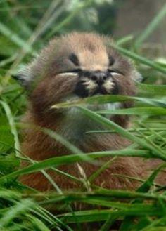 Junger CARACAL im Gras versteckt!