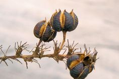 Yucca seed pods against a cloudy sky Dry Plants, Seed Pods, Dried Flowers, White Flowers, Patterns In Nature, Flower Seeds, Planting Seeds, Botanical Illustration, Amazing Nature