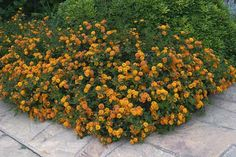 Lantana camara spreading sunset:  Evergreen shrubs and perennial herbs with green leaves and spiny branches that bear globular flowers, intermittently year round. Poisonous plants.