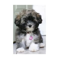 havanese puppy…toooo cute! Pinterest Best ❤ liked on Polyvore featuring puppies