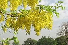 Golden Shower Tree - Cassia Fistula - one of the new trees I recently purchased.  Can't wait for it to grow enough to flower like this
