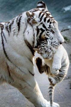 Mamá y Bebe tigre blanco