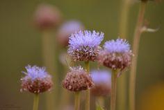 Flor de campo Dandelion, Plants, Flower, Country, Naturaleza, Dandelions, Planters, Plant, Planting