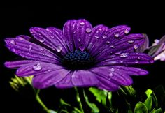 £4.95 GBP - Framed Print - Deep Purple Flower With Raindrops (Picture Poster Art Poppies) #ebay #Home & Garden
