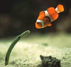 Clownfish and baby eel