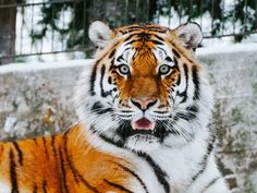 tiger walking towards on green leaf plant during daytime photo – Free Tiger Image on Unsplash Tiger Images, Tiger Pictures, Big Cats, Cool Cats, Cats And Kittens, Close Up Photography, Wildlife Photography, Tiger Video, Tiger Face