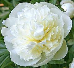 Peony Duchesse De Nemours Premium Hardy Perennial Fragrant Garden Flower Plant