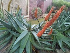 Aloe plant Natural Things, Nature, Plants, Art, Art Background, Naturaleza, Kunst, Plant, Performing Arts