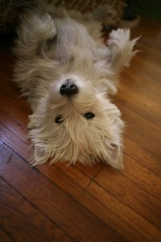 Samantha the Westie Terrier Westies, Cute Puppies, Dogs And Puppies, Doggies, Chihuahua Dogs, Animals Beautiful, Cute Animals, West Highland White Terrier, Jiff Pom
