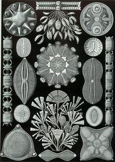 Haeckel Diatomea - Bacillariophyta — Wikipédia