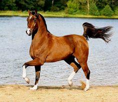 Arabian. photo: Ekaterina Druz.