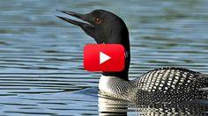 Voices: Common Loon- Adirondack Mountains, New York