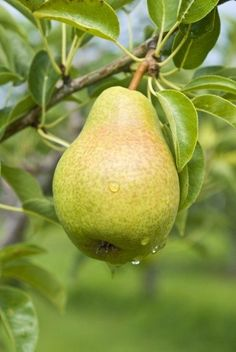 Fertilizer For Pear Trees ? Learn How And When To Fertilize Pears