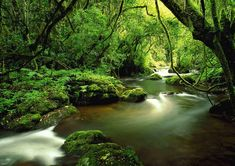 On the Garden Route, you can experience ancient Milkwood forests as here in the Tsitsikamma Forest
