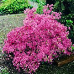 Azalea mollis Pink - 1 shrub Buy online order yours now Planting Shrubs, Garden Shrubs, Flowering Shrubs, Trees And Shrubs, Shade Garden, Garden Plants, Rhododendron, Garden Power Tools, Bright Flowers