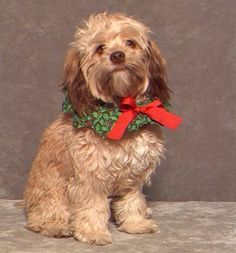 """A """"Changed"""" Red Sable AdultCockapoo"""