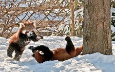 Red Pandas at play - Detroit Zoo 6