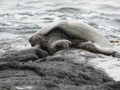 Kauais South Side Shores Offer Views Of Hawaiian Green Sea Turtles From Many Vantage Points Standing