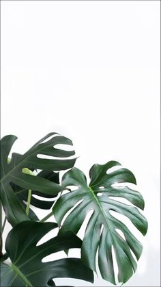 Wallpaper xx Facetune used to whiten background Leaves Wallpaper Iphone, Plant Wallpaper, Tropical Wallpaper, Hd Phone Backgrounds, Green Leaf Wallpaper, Phone Wallpapers, Aesthetic Backgrounds, Aesthetic Iphone Wallpaper, Aesthetic Wallpapers