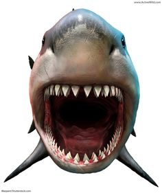 Megalodon was the world's biggest ever shark - probably the largest ever fish! Megalodon facts for kids & adults, information & pictures, prehistoric fish. Largest Sea Turtle, Types Of Sharks, Species Of Sharks, Megalodon Still Alive, Shark Mouth Open, Great White Shark Drawing, Shark Images, Artist, Animaux