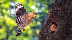 brooding - Pinned by Mak Khalaf Nature birdsbirdnatureanimalswildlifehoopoebroodingKoreaTiger SeoWBPA by TigerSeo