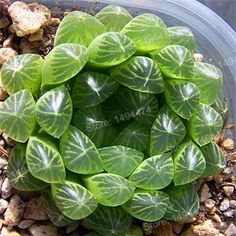 Rare succulent plant seeds Lithops Pseudotruncatella Living Stone seeds Home Gardening Flower bonsai plant Hot Sale! Rare succulent plant seeds Lithops Pseudotruncatella Living Stone seeds Home Gardening Flower bonsai plant Unusual Plants, Exotic Plants, Cool Plants, Air Plants, Garden Plants, Window Plants, Types Of Succulents, Cacti And Succulents, Planting Succulents