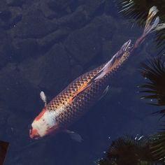 «#koi #fish #flamingo #Vegas»