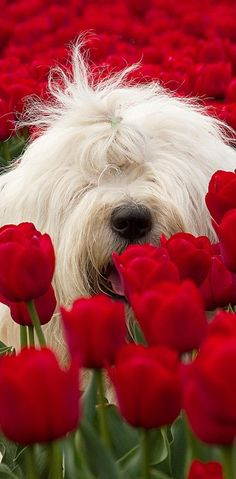 Sheepdog in the Red tulip garden.