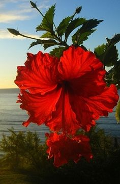 Hibiscus... State flower