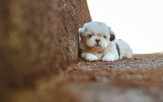 Most Shit Tzus are peaceful not only to humans but to other pets as well. Shih Tzu puppies are captivating and lovable, they have a charming nature. Baby Shih Tzu, Shih Tzu Hund, Shih Tzu Puppy, Shih Tzus, Cute Puppies, Cute Dogs, Dogs And Puppies, Puppies Tips, Doggies