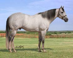 Eyesa Special - Dapple gray quarter horse racehorse stallion