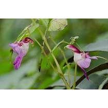 Orquídea Papagaio 50 Sementes Flores Exoticas Frete Grátis