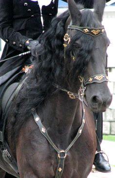 Friesian stallion dressage baroque