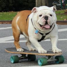 how to train a english bulldog to skateboard