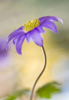 ~~Anemone by Mandy Disher~~
