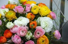 Mix of multicolored. Ranunculus asiaticus: This plant grows with long straight…