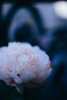 Mon jardin en ville #1, ma belle pivoine   vanessa pouzet le blog