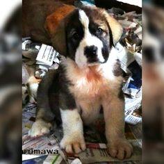 Hércules de Brumawa, spanish mastiff puppy