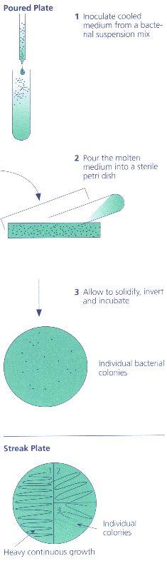 Bacillus cereus emb