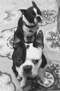 The Boston Terrier breed originated in Boston and is one of the few breeds that are native to the U. I Love Dogs, Puppy Love, Cute Dogs, Boston Terrier Love, Boston Terriers, Toy Fox Terriers, Terrier Puppies, Expensive Dogs, Boston Art