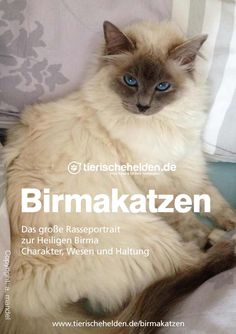 Ist sie die schönste Katze der Welt? Erfahrt alles zur Heiligen Birma Katze im großen Rasseportrait der Birmakatzen. Trump New, Greatest Presidents, High School Students, Portrait, Cats, Animals, Beautiful Cats, Pet Dogs, Animal Welfare