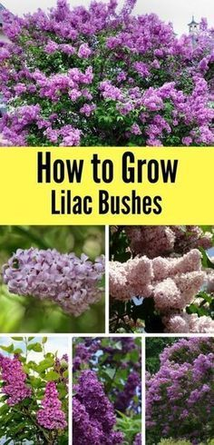 Learn how to grow lilac bushes in your garden this Spring with a few simple tips!