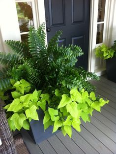 HUGE pots with #ferns and #sweetpotatovines ... Beautiful on any porch