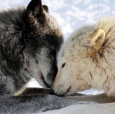 """""""It is not enough to understand the natural world; the point is to defend and preserve it. Wolf Love, Arktischer Wolf, Wolf Husky, Lone Wolf, Beautiful Wolves, Animals Beautiful, Cute Animals, Wolves In Love, Grey Wolves"""