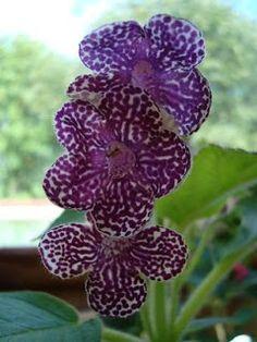 Bristol Gem Iris | Ywwees Gesneriaceaer